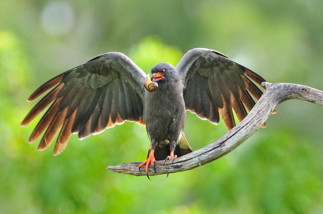 Snail Kite, Identification, All About Birds - Cornell Lab of ...