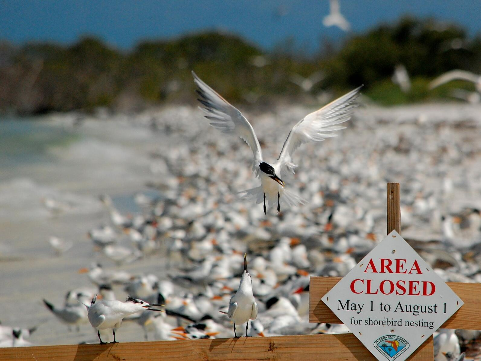 Sandwich Terns in front of a larger colony of seabirds. Photo: Tom Carey.