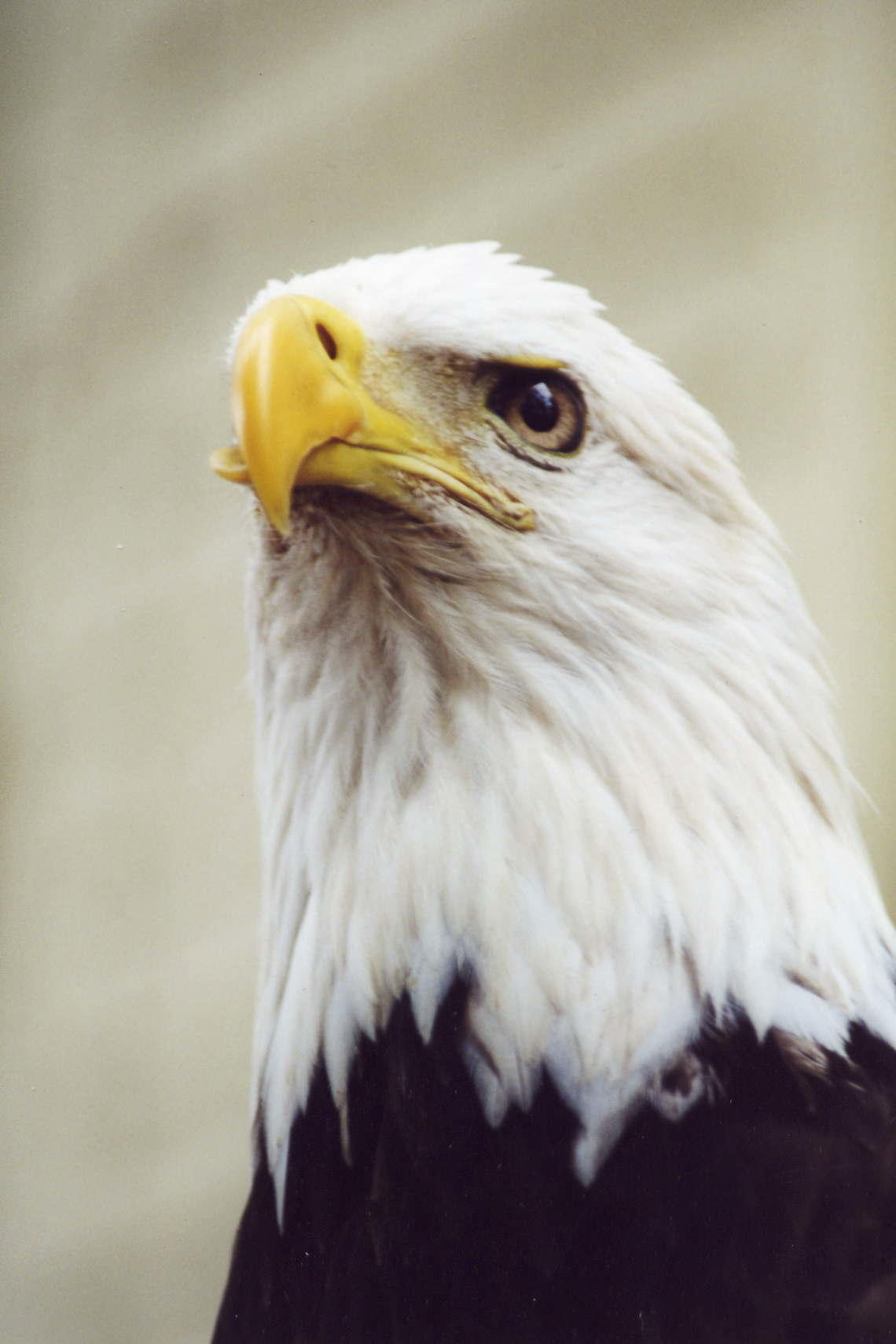 photo of a bald eagle named trouble