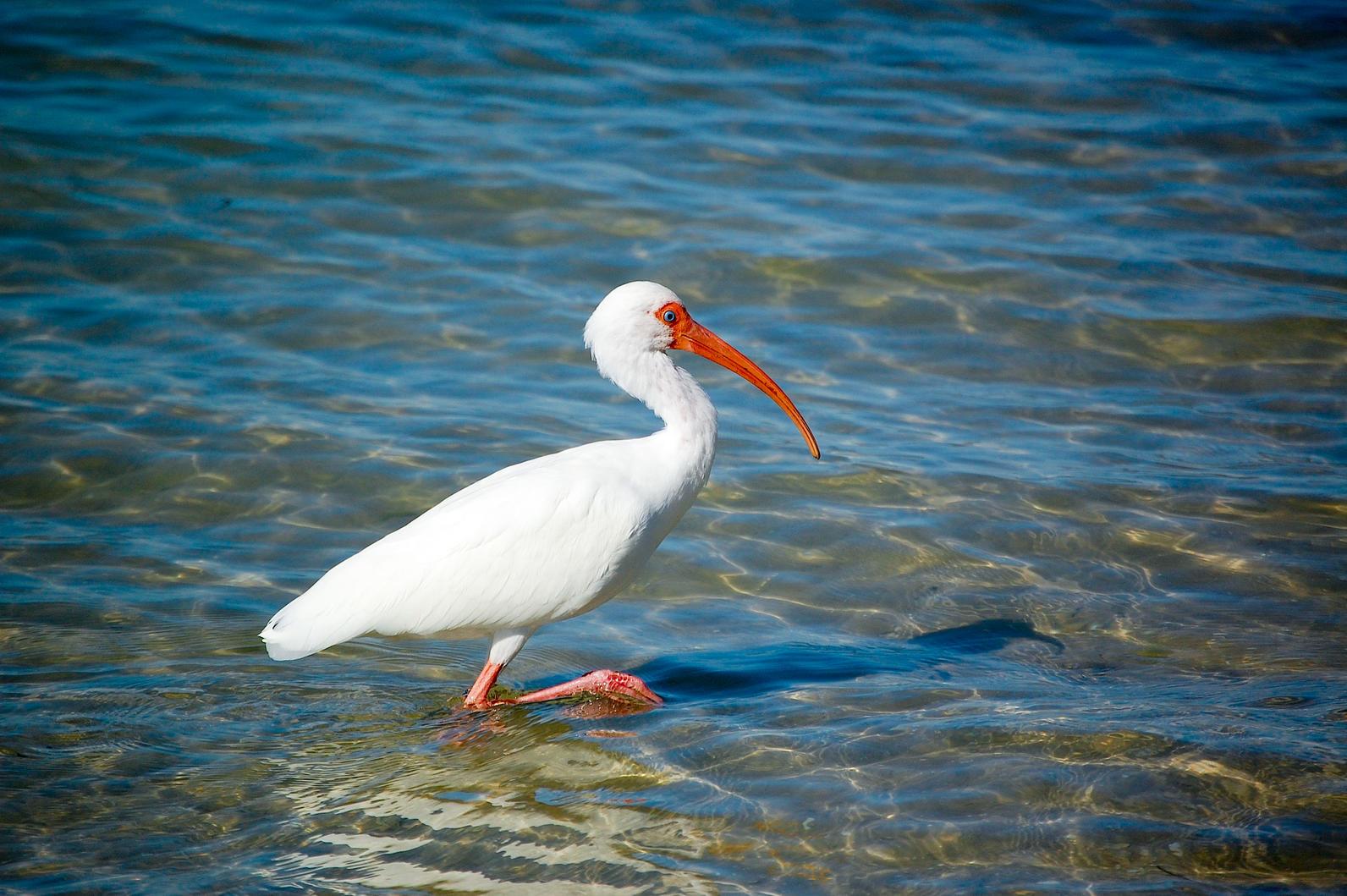 Species: White Ibis. Photographer: Scott Kinsey