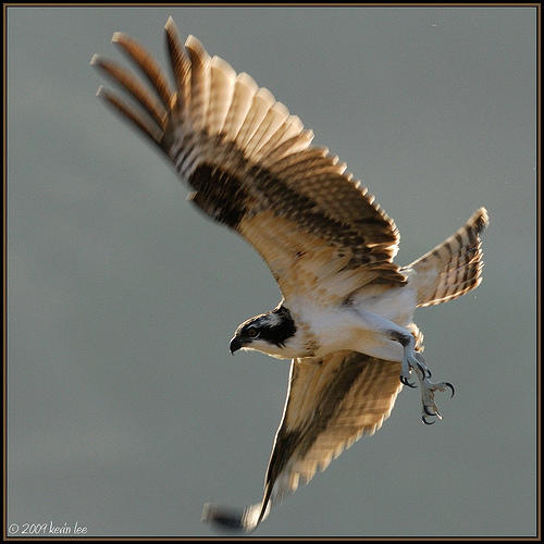 Students Pick Florida's New State Bird, the Osprey   Audubon