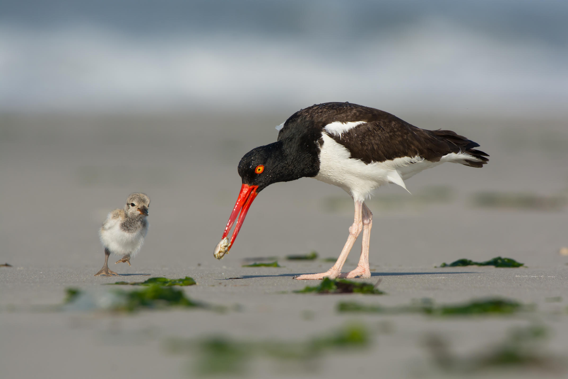 An adult oystercatcher with its chick.