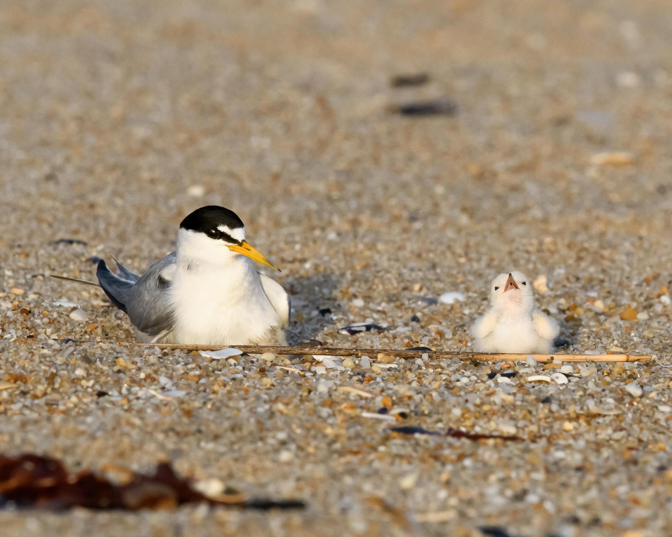 Least Tern and chick. Photo: Robert Cook/Audubon Photography Awards.