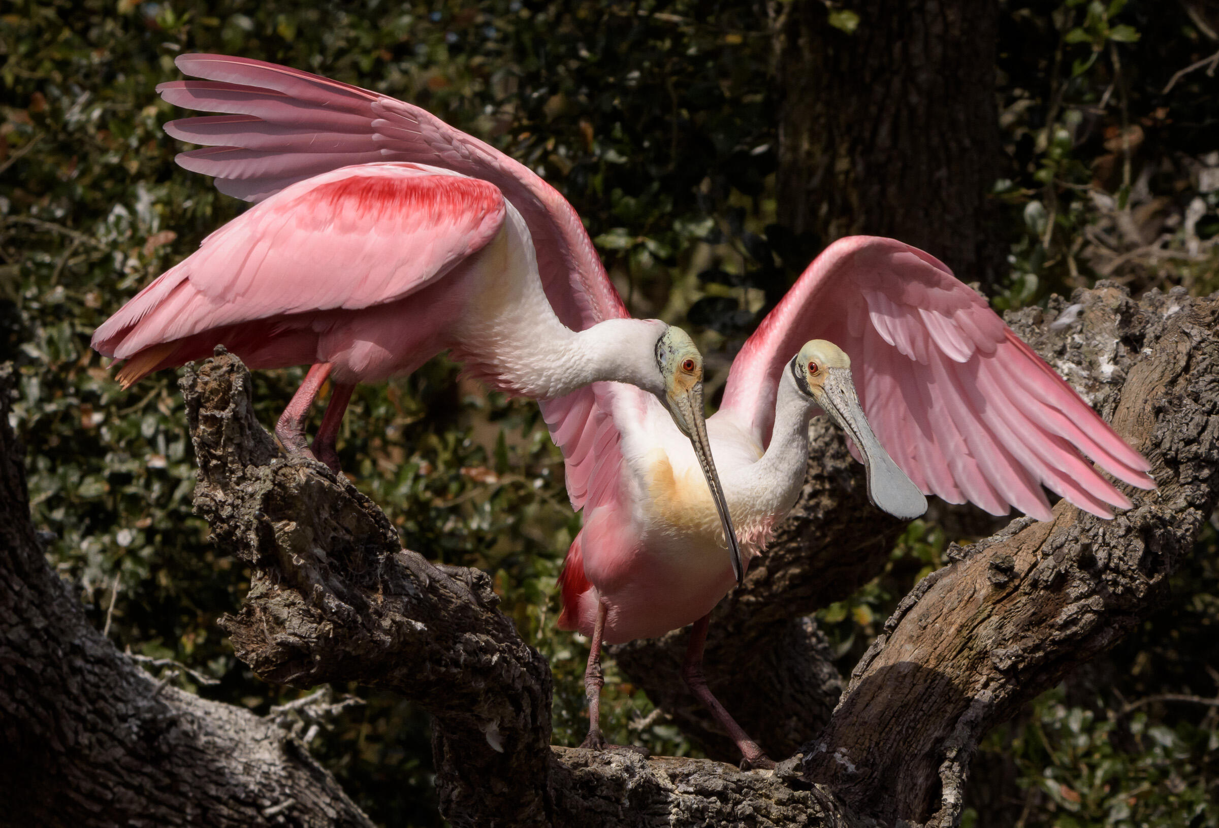 Roseate Spoonbill. Photo: Trudy Walden/Audubon Photography Awards.