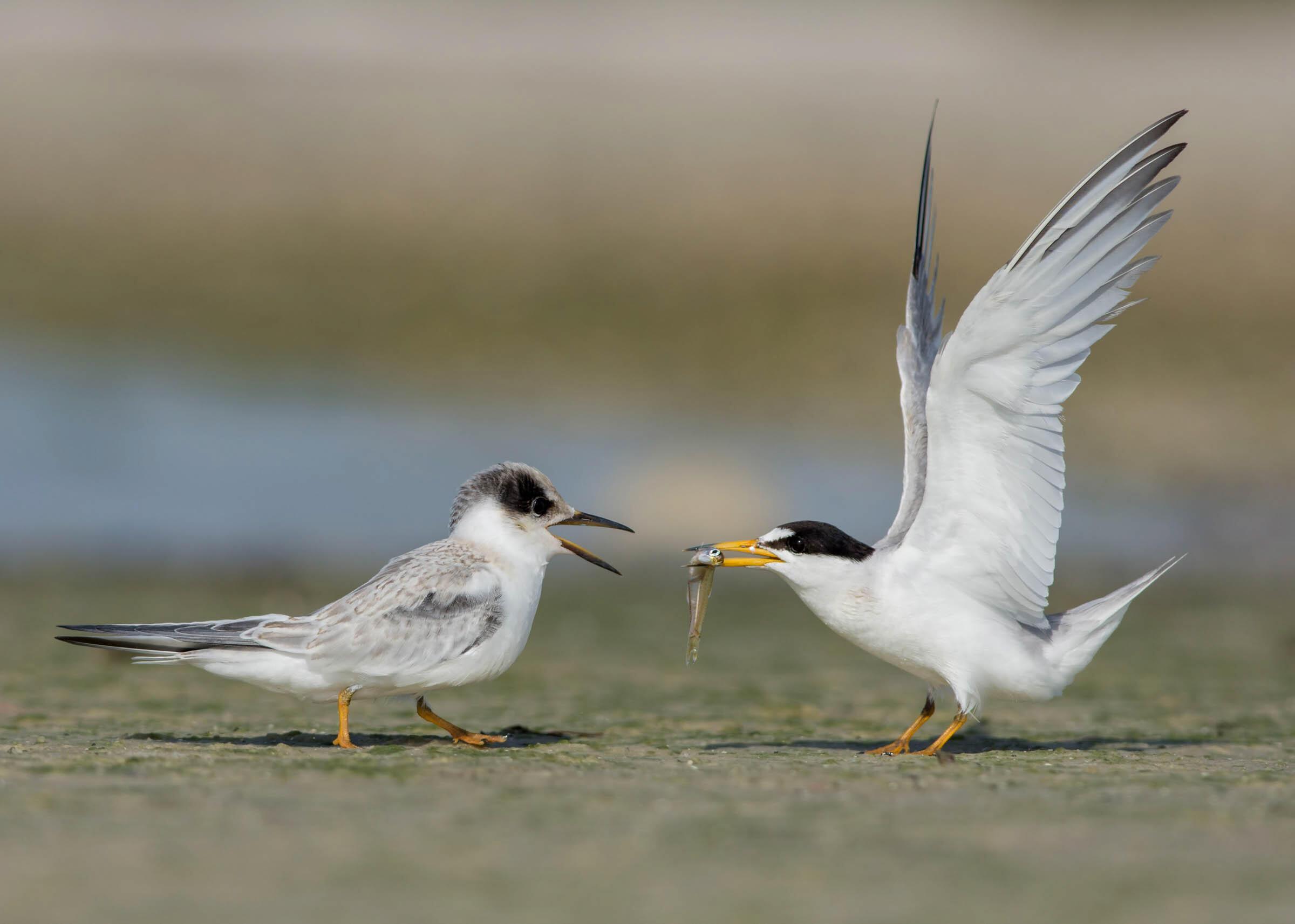 Least Terns. Photo: Peter Brannon/Audubon Photography Awards.