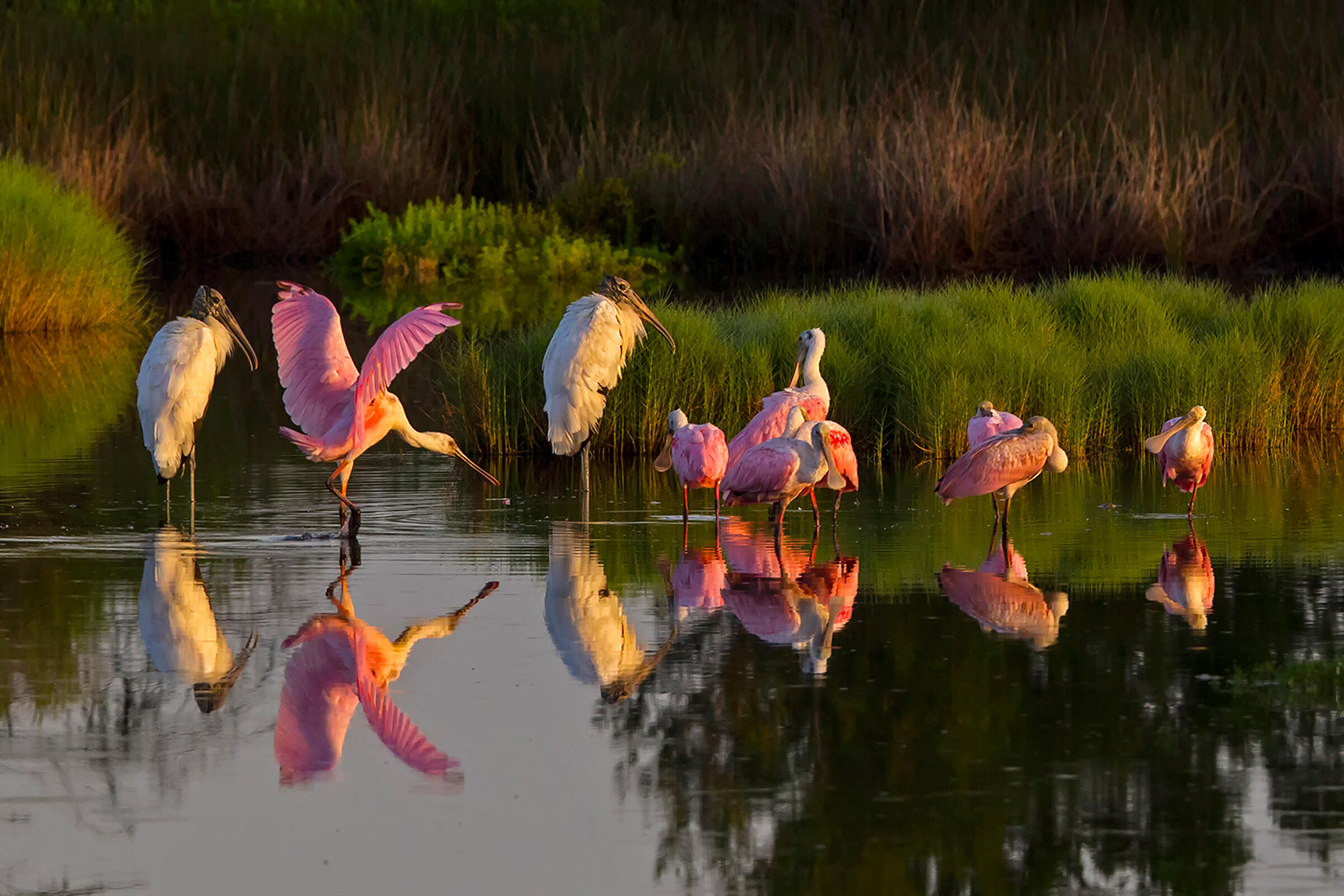 Roseate Spoonbills and Wood Storks. Photo: John Studwell.