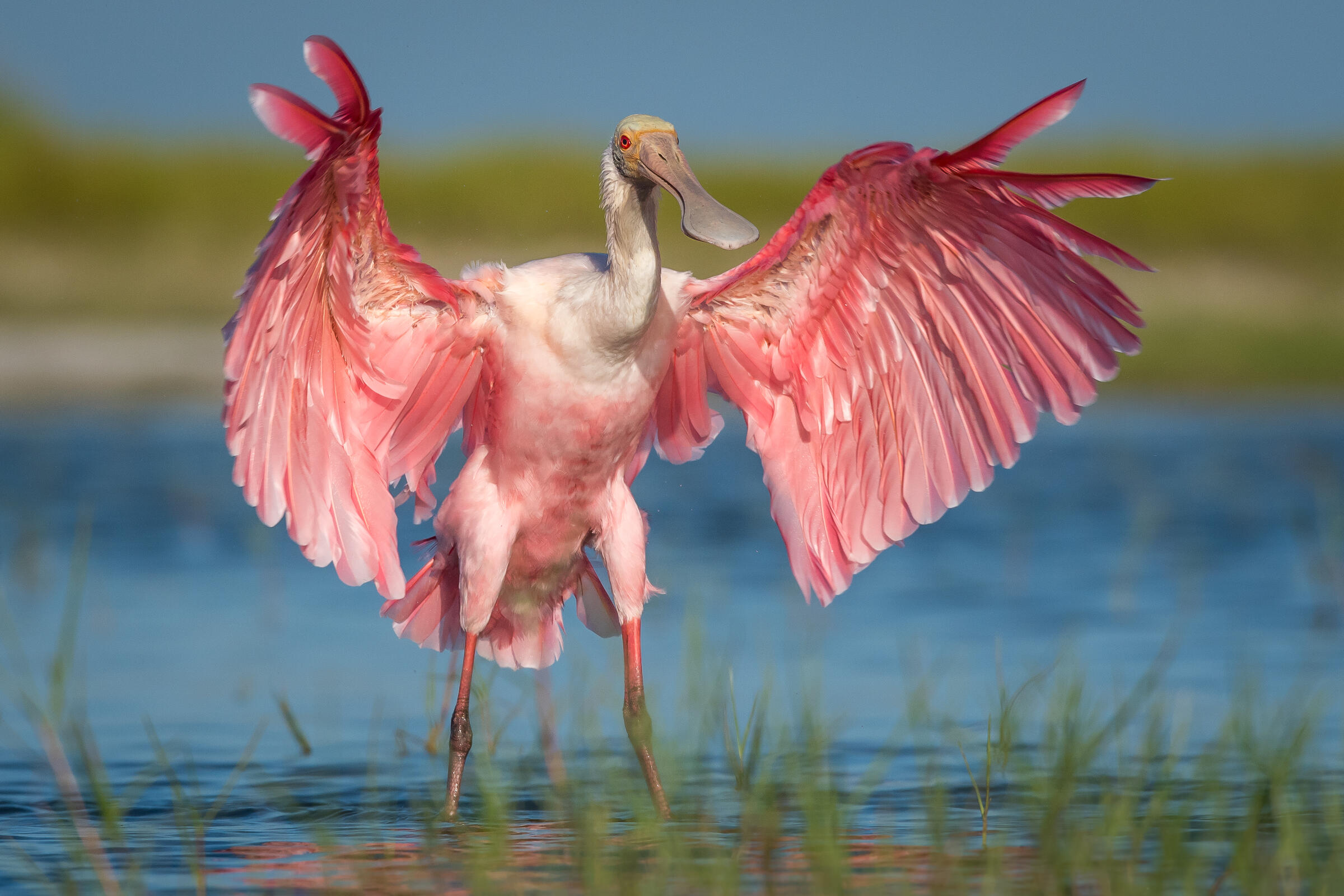 Roseate Spoonbill with wings outstretched