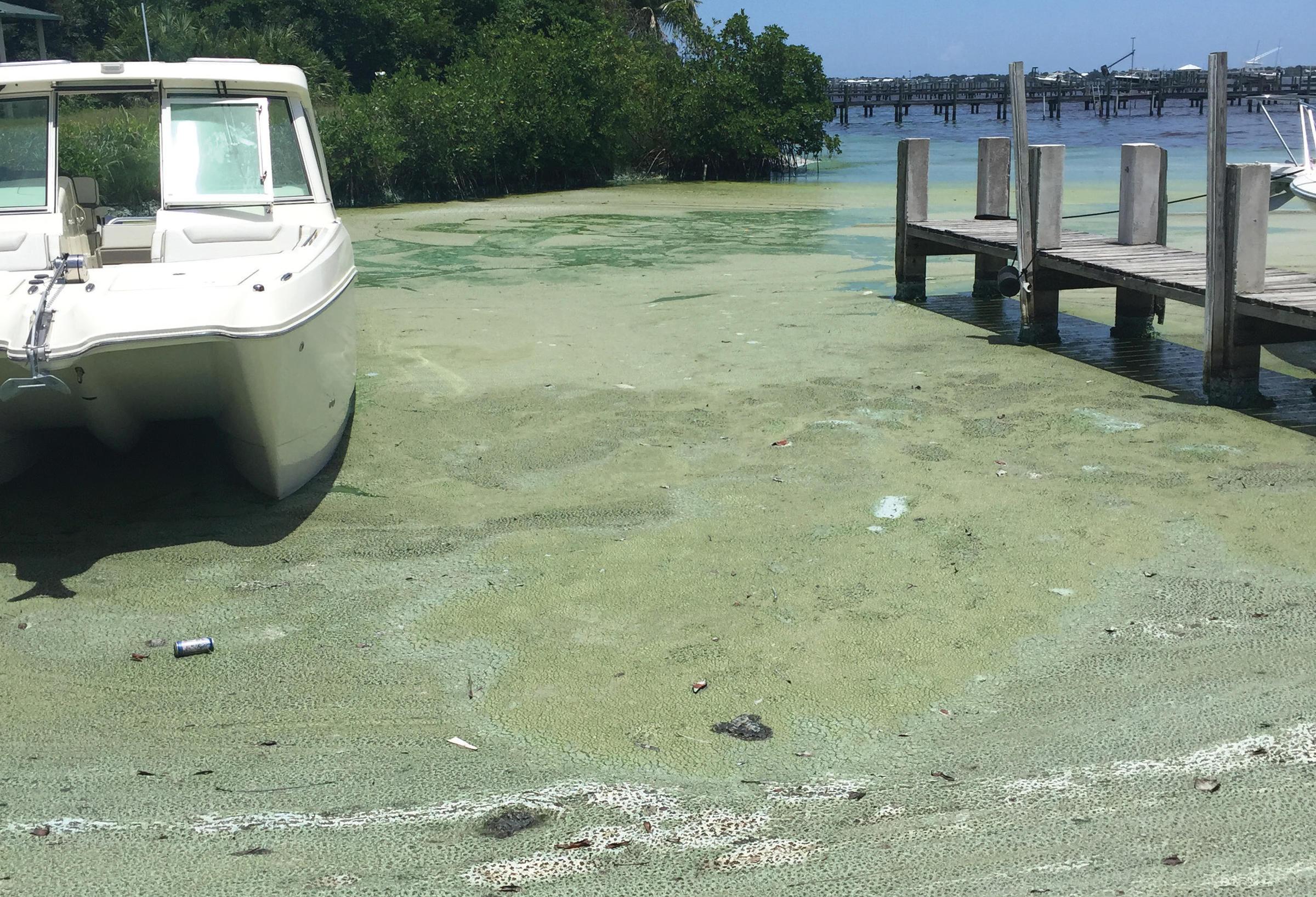 Blue-green algae in a marina