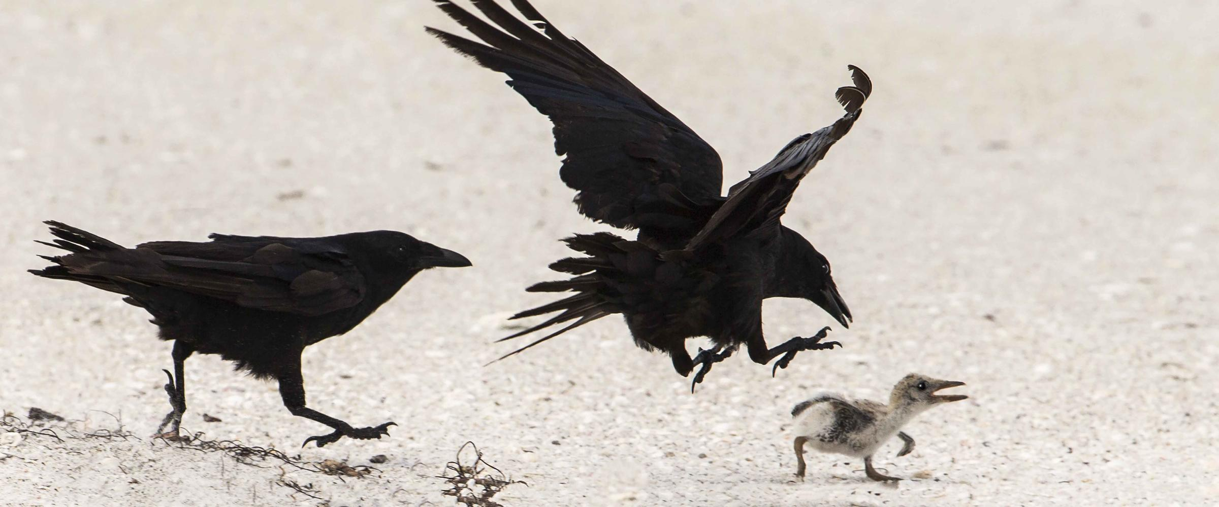 Fish crow preying on chick