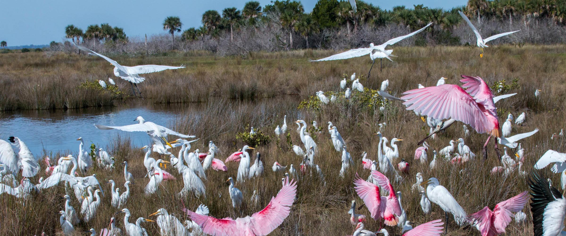 Wading birds.