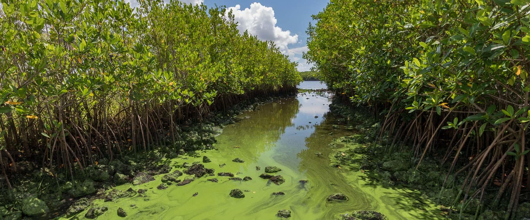 Toxic blue-green algae in Southeast Florida