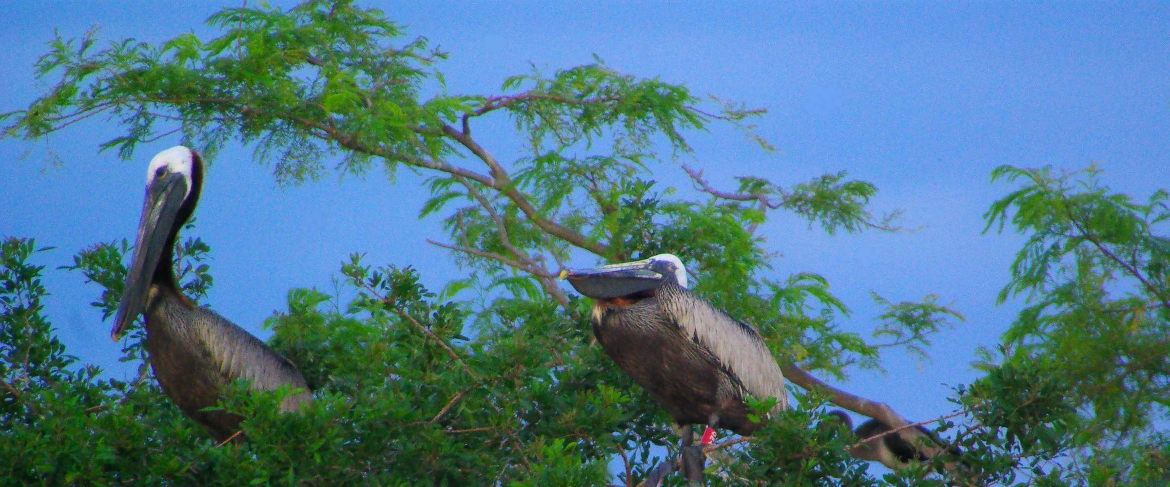 banded brown pelican