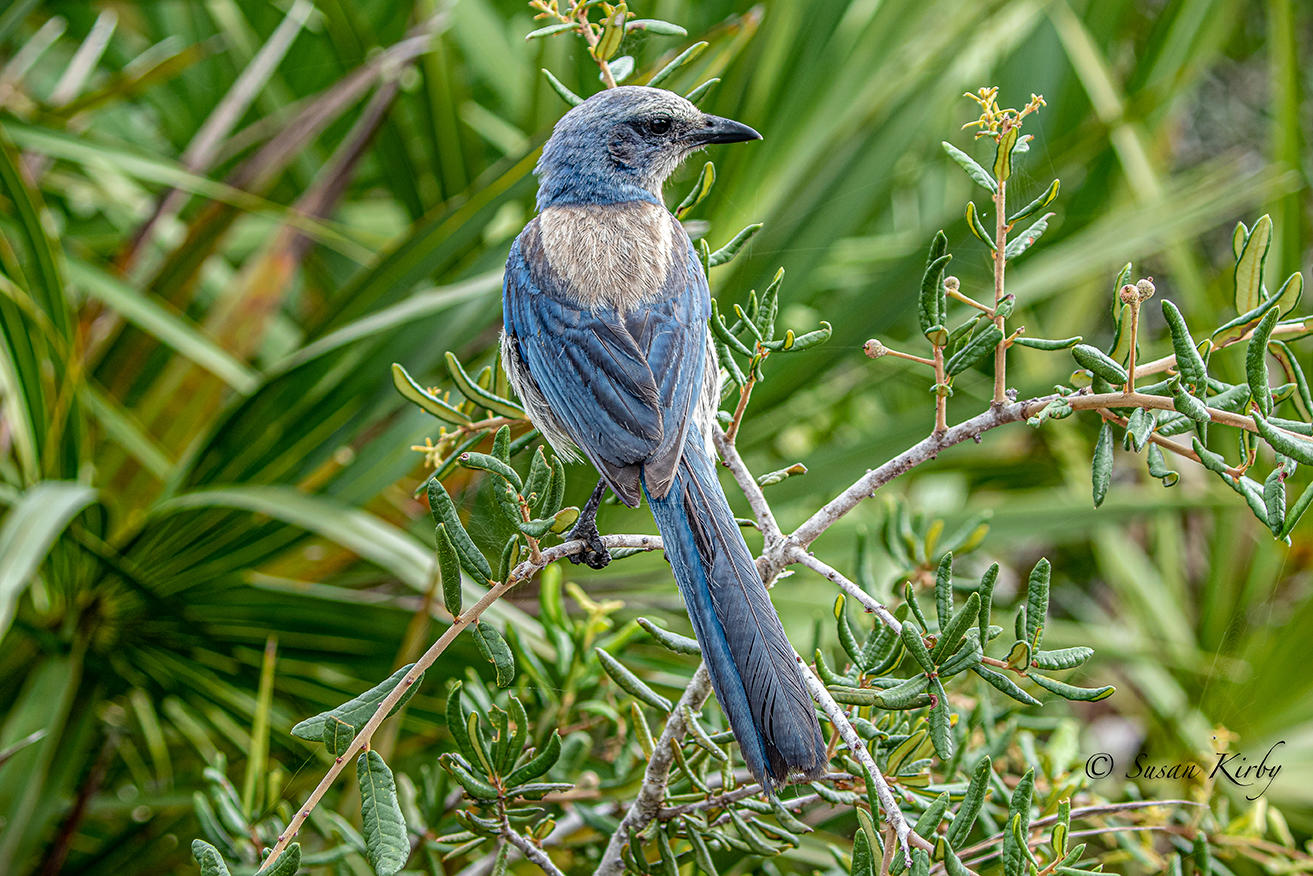 Florida Scrub-Jay. Photo: Susan Kirby.