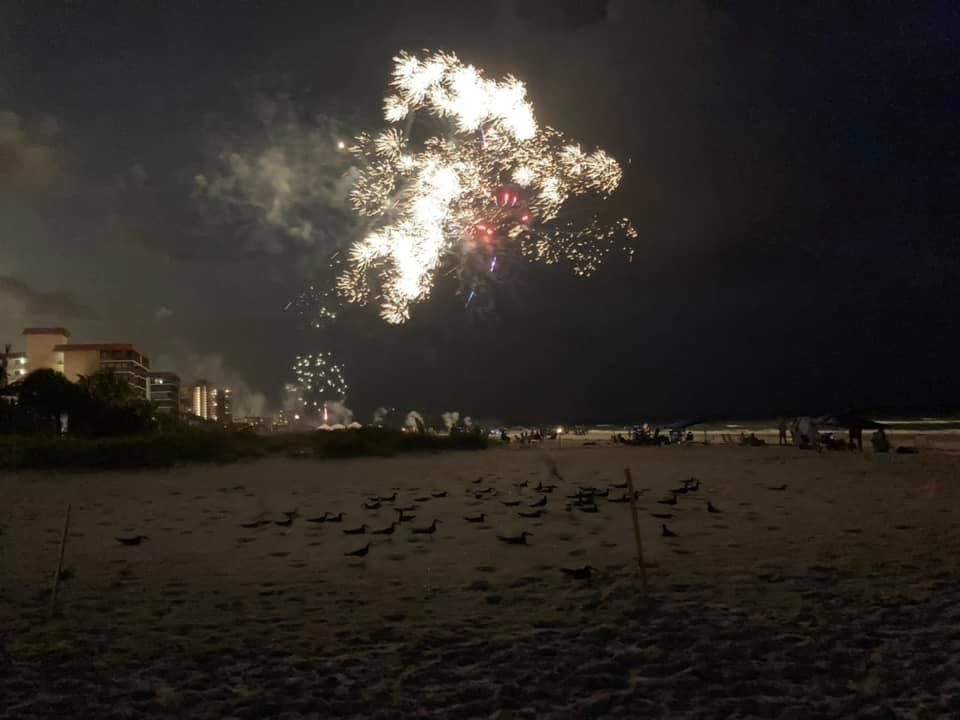Fireworks explode over a colony of Black Skimmers. Photo: Holley Short.