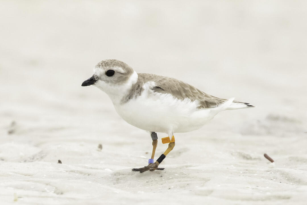 A banded Piping Plover is spotted in Florida. The bird was banded in 2010. Photo: Jean Hall.