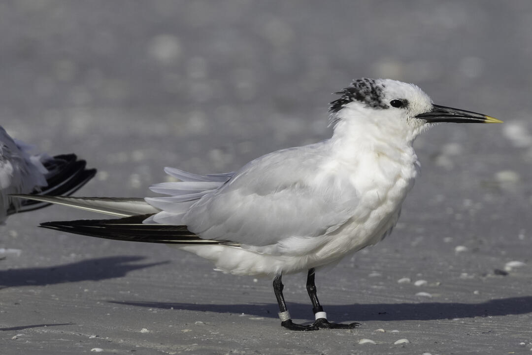Banded Sandwich Tern. Photo: Jean Hall.
