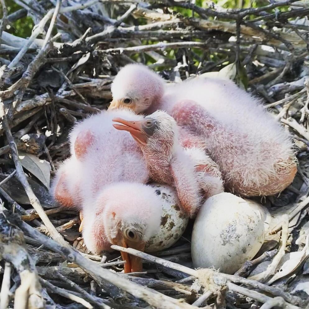 Roseate Spoonbill chicks. Photo: Casey King.