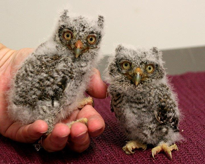 Eastern Screech Owls at the Center for Birds of Prey
