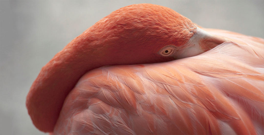 American Flamingo: Photo: Scott Hamsick/Audubon Photography Awards.