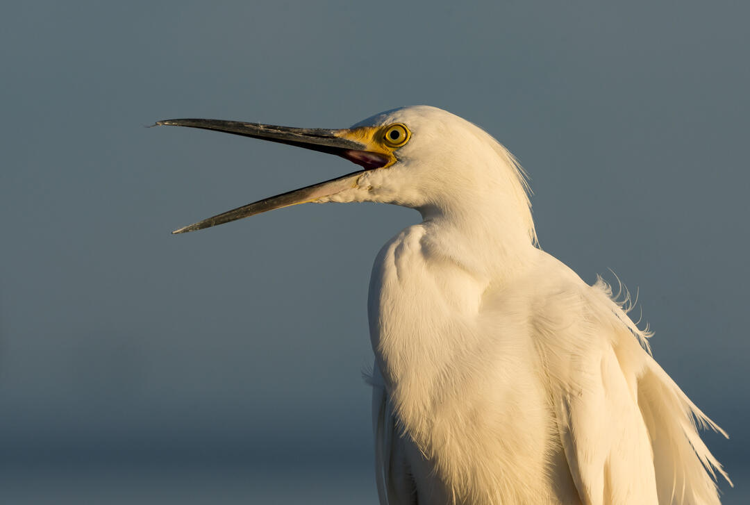 Snowy Egret. Photo: Trudy Walden/Audubon Photography Awards.