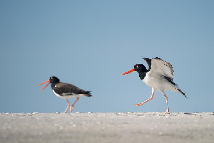 Two oystercatchers walk along the beach.