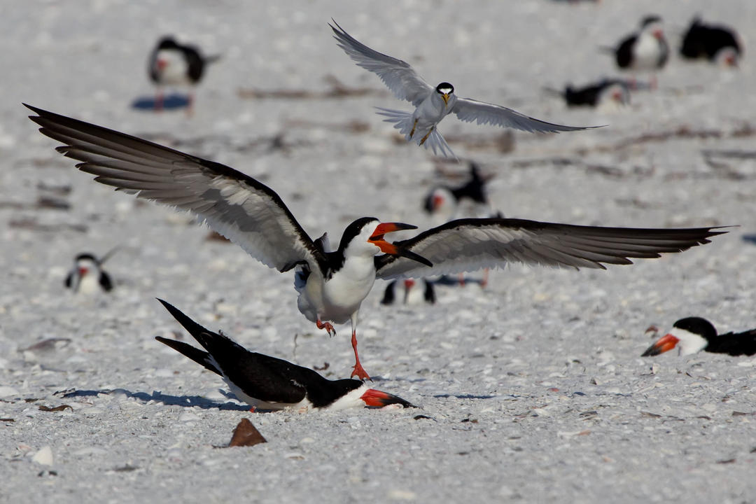 Black Skimmers. Photo: Jean Hall/Audubon Photography Awards.