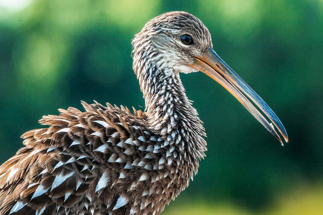 Limpkin. Photo: JoAnn Ricchiuti / Audubon Photography Awards.