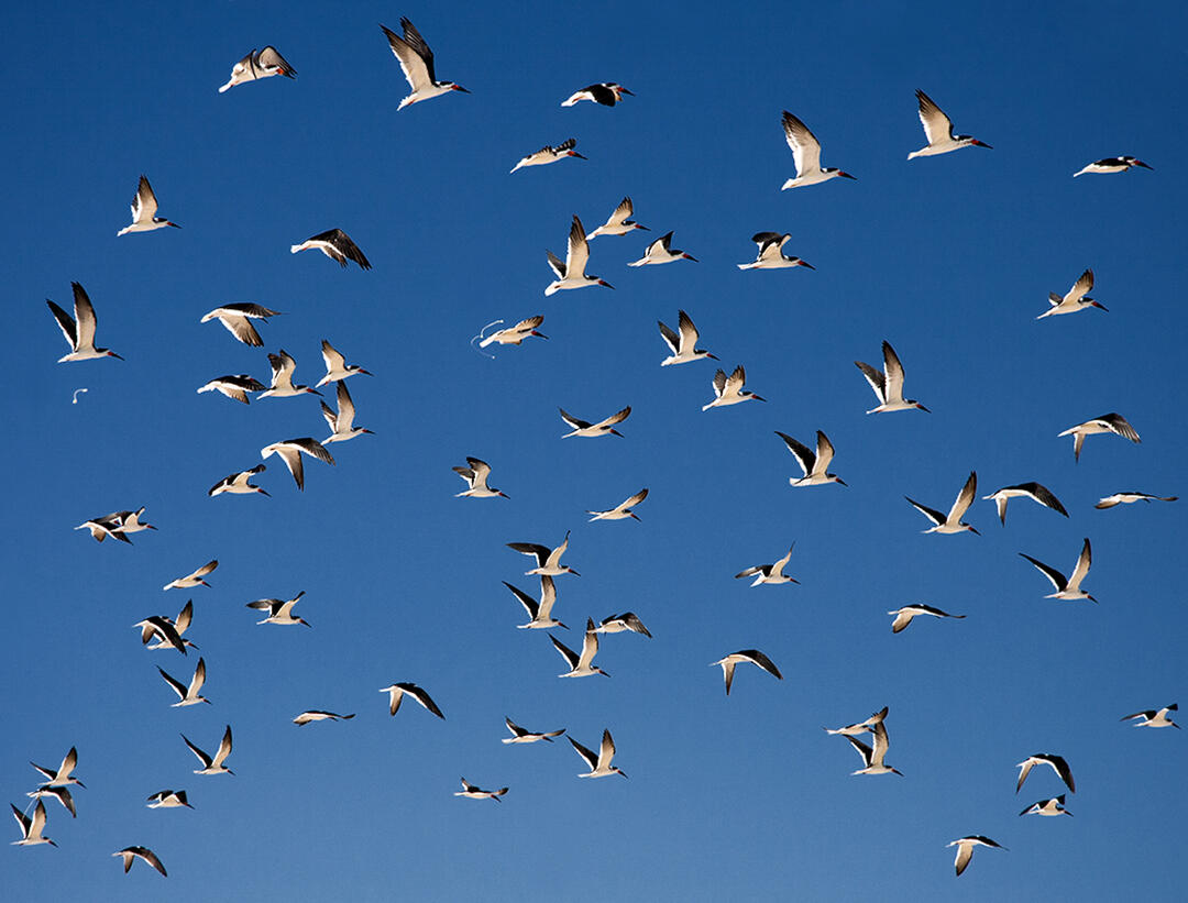 Black Skimmers. Photo: Vera Sprunt/Audubon Photography Awards.