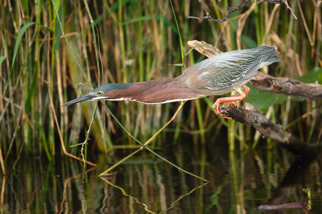 Green Heron. Photo: Edward Cordes/Audubon Photography Awards