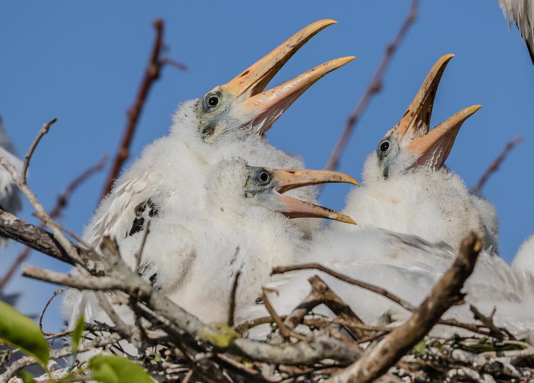 Wood Stork chicks. Photo: Lorraine Minns/Audubon Photography Awards.