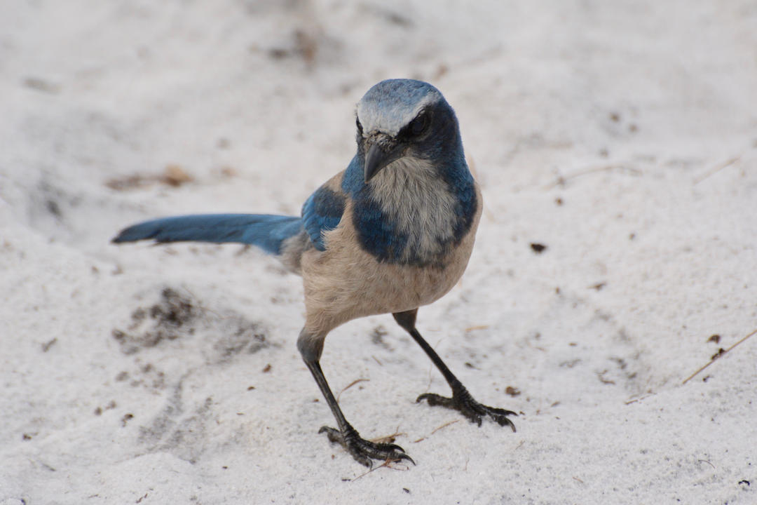 Florida Scrub Jay. Photo: Ann Foster/Great Backyard Bird Count.