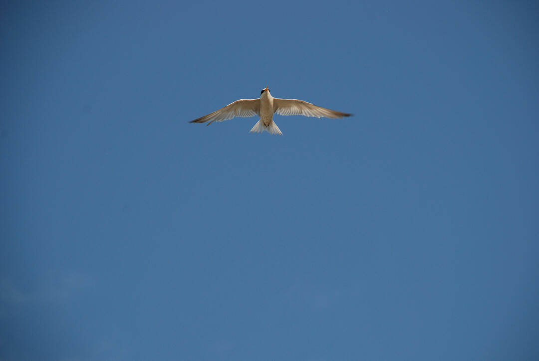 Least Tern. Photo: David J. Ringer/Audubon.