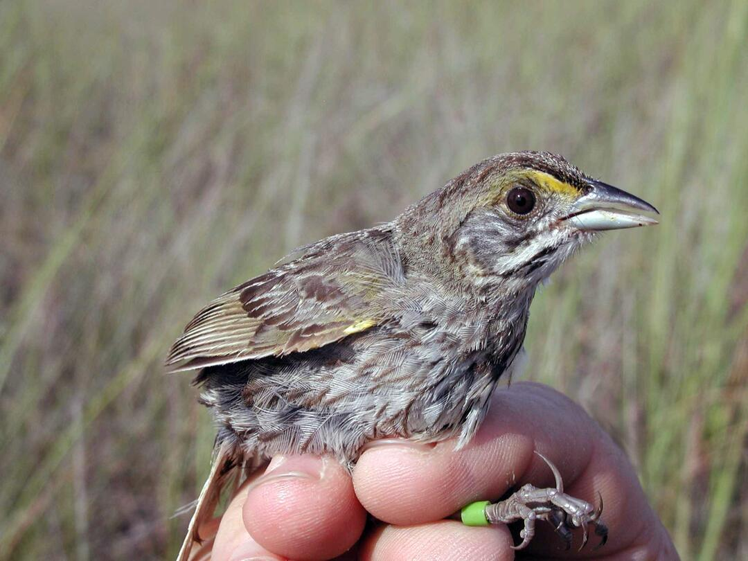 Cape Sable Seaside Sparrows are not an impediment to Everglades restoration. They depend on unique habitat in South Florida to survive. Photo: NPS/Lori Oberhofer