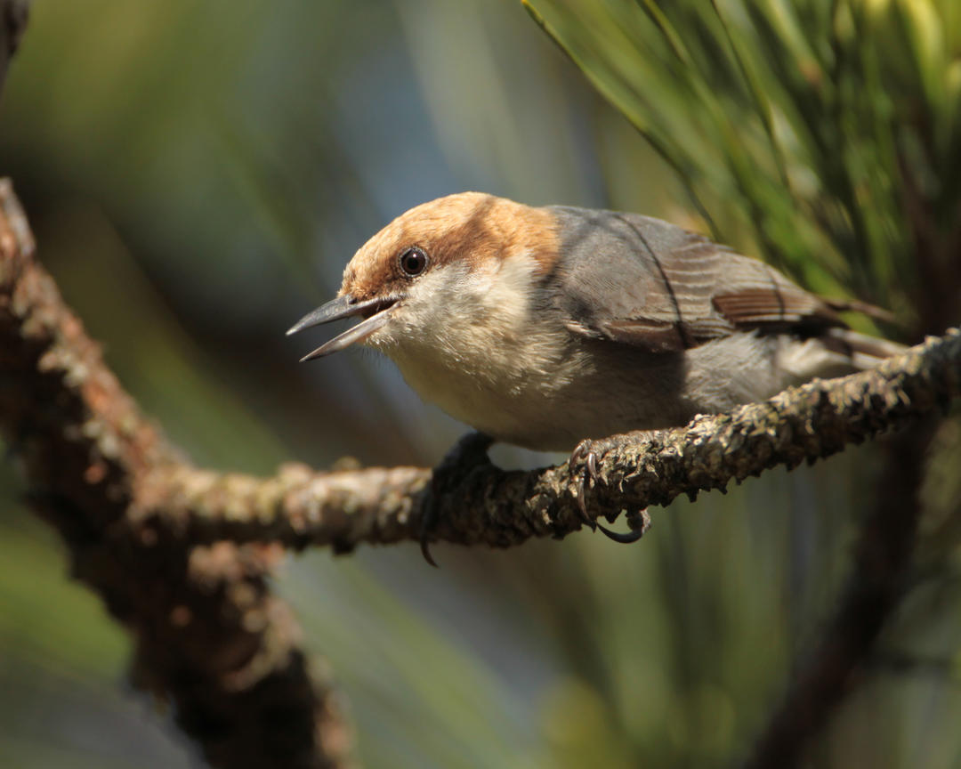 Brown-headed Nuthatch. Photo: Matt Tillet/ Flickr CC by 2.0.