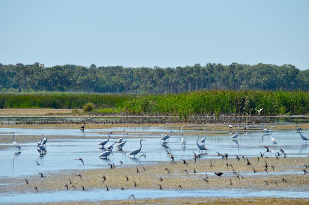 Wading birds in a wetland