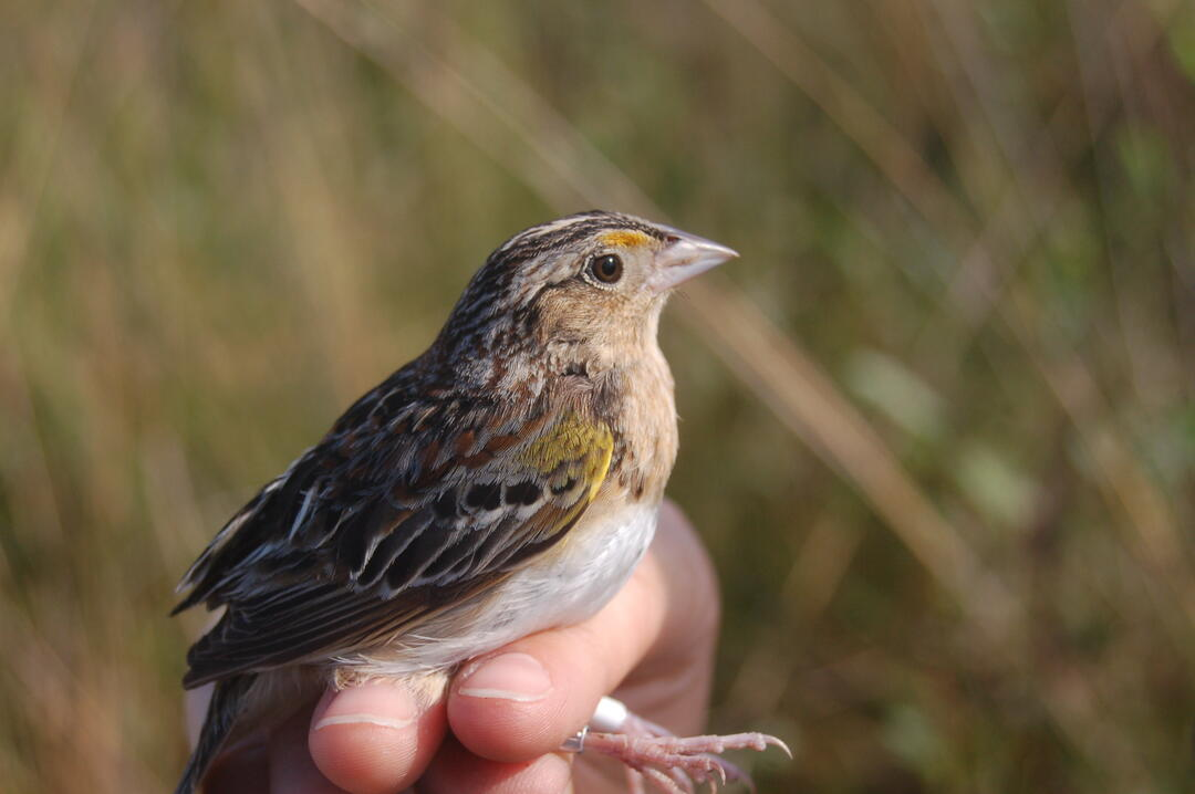 Florida Grasshopper Sparrow. Photo: Marianne Korosy.