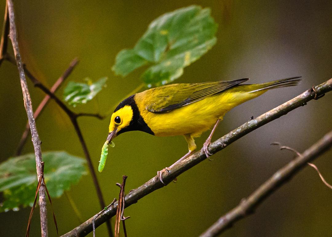 Hooded Warbler. Photo by John A. Middleton, Jr.