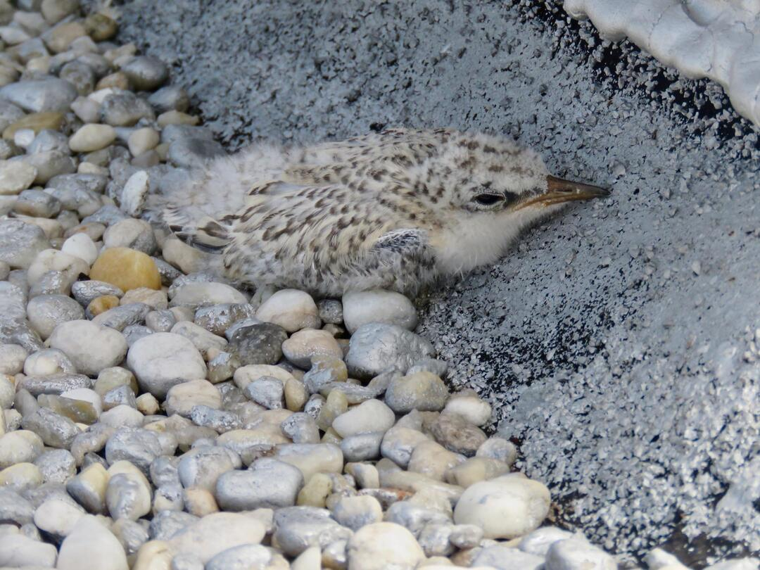 Least Tern chick on rooftop.