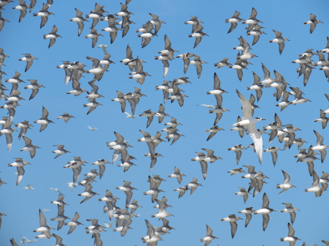 Red Knots.