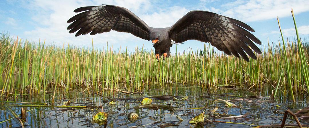 terrible news  all endangered everglade snail kite nests