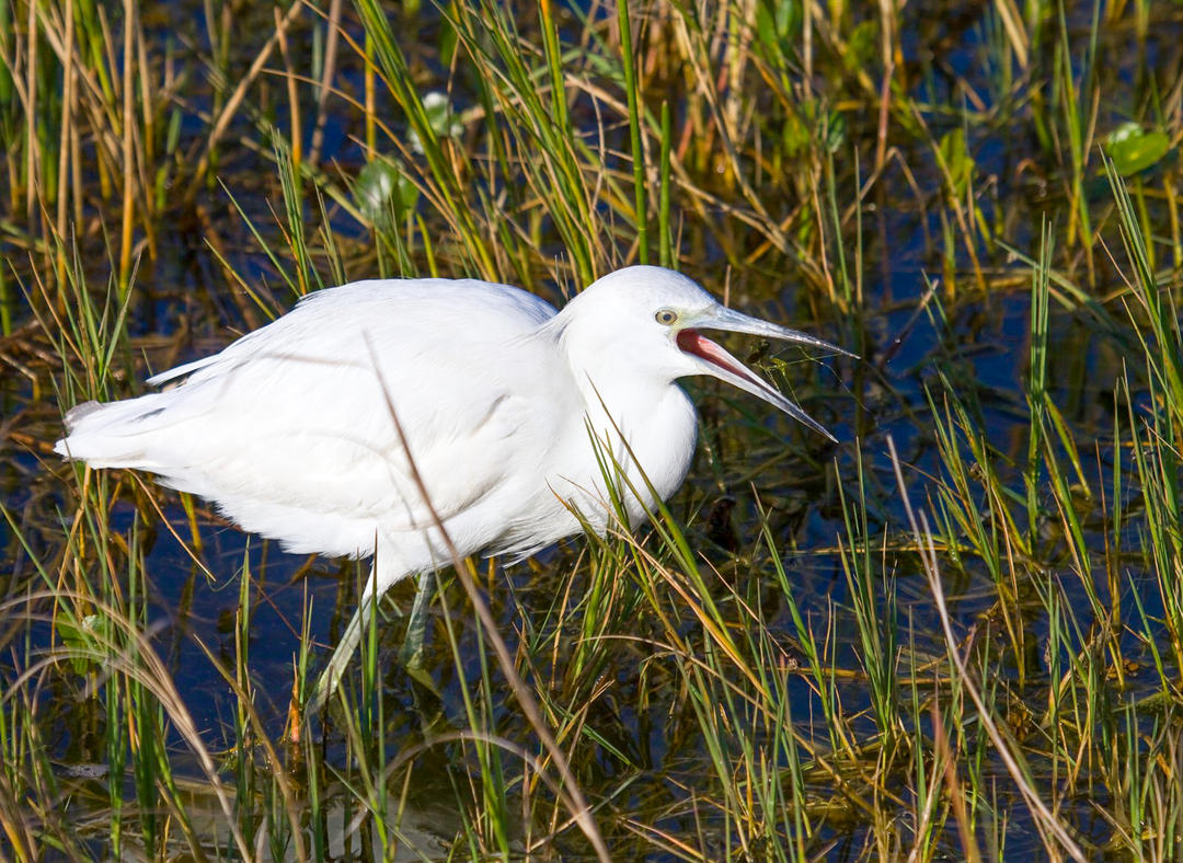 Little Blue Heron. Photo: Mark Eden / Great Backyard Bird Count.