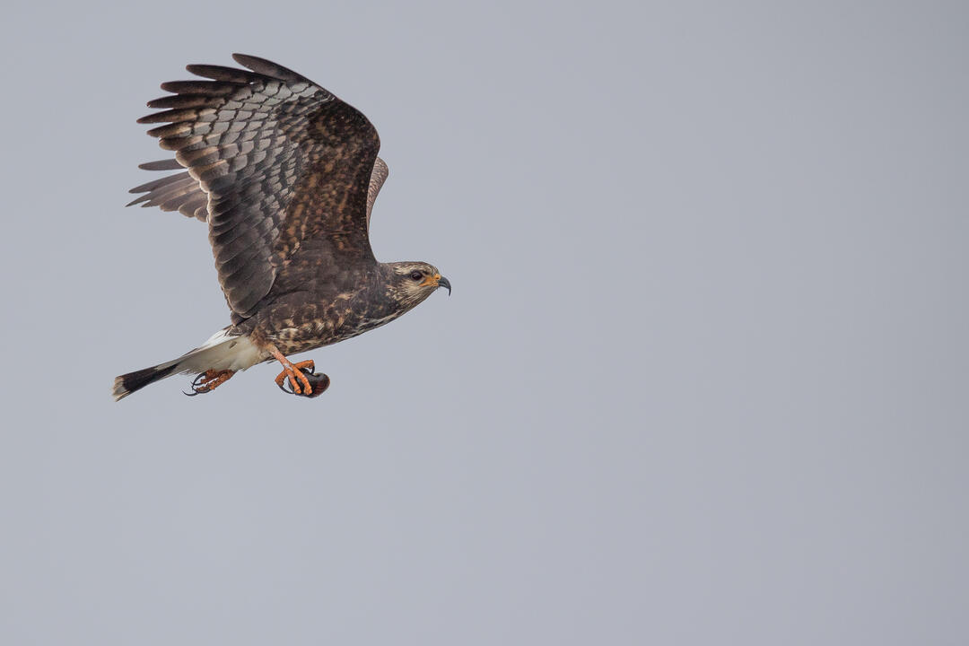 Snail Kite in flight. Photo: Sandra Rothenberg.