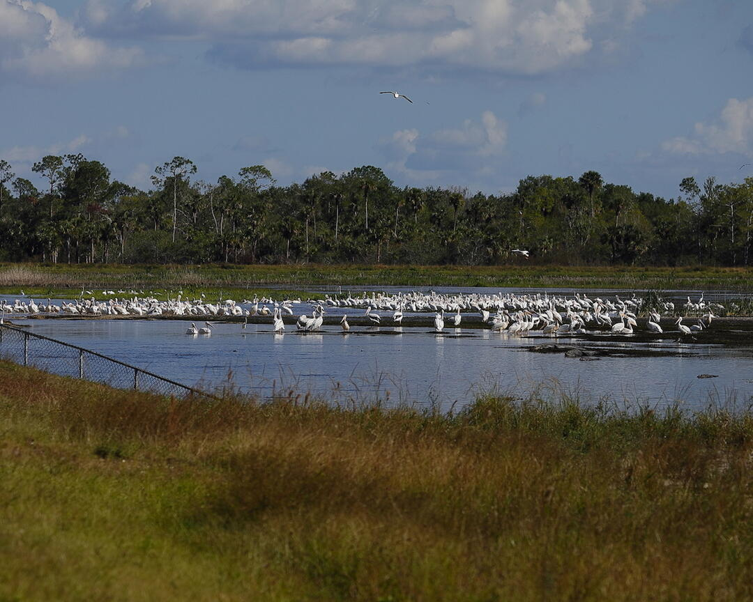 Wading birds and American White Pelicans using the spreader apron on the newly restored Merritt Canal portion of Picayune Strand Restoration Project. Photo: Ken Humiston