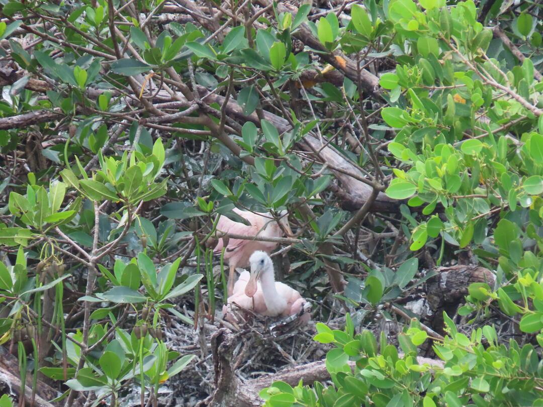 Roseate Spoonbill nest.
