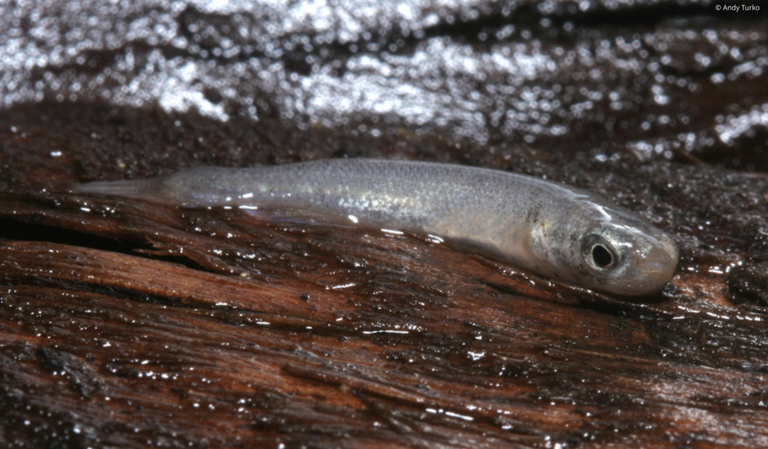 Mangrove Rivulus. Photo: Andy Turko.
