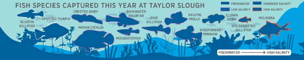 An infographic that shows the community of fish sampled by the Everglades Science Center.