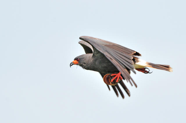 Overview - Snail Kite (Rostrhamus sociabilis) - Neotropical Birds