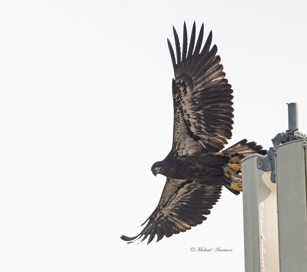 Bald Eagle. Photo: Michael Amatucci.