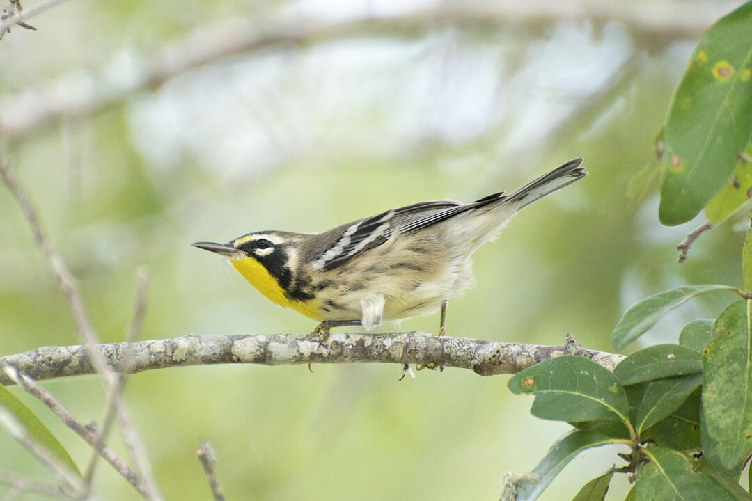 Yellow-throated Warbler. Photo: Brandon Trentler/Flickr CC (BY 2.0).